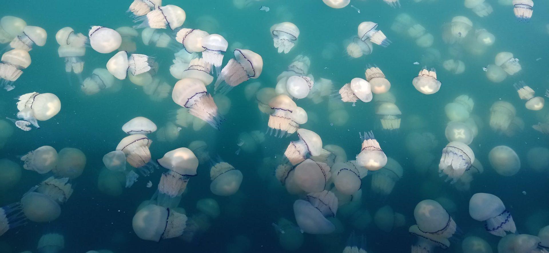 Nel Golfo di Trieste si è ripetuto il fenomeno delle meduse