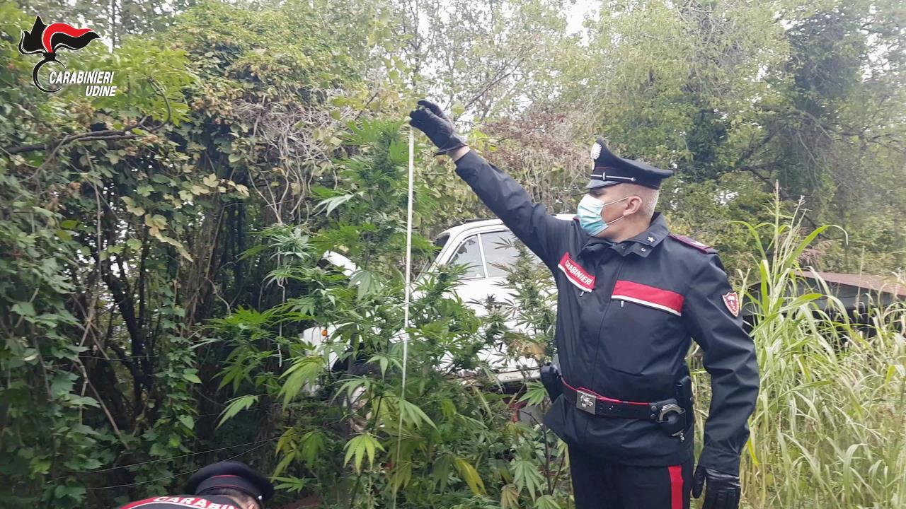 A Colloredo trovato uomo con 4 kg di cannabis e 33 piante di marijuana